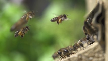Slow motion of Bees getting inside the small hole of the wall going back and forth stock Video Footage.