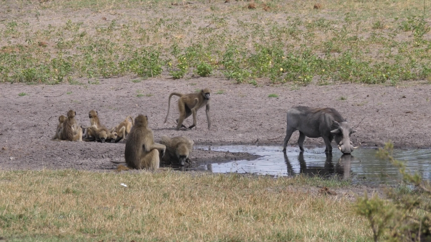 A Troop of chacma baboons and a warthog drinking from a waterhole