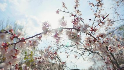 Cherry branch with flowers in spring bloom. A beautiful Japanese tree branch with cherry blossoms. A buzzing bee is enjoying the lovely pink scenery. White. Spring Flowers. Cherry. Sakura. Background.