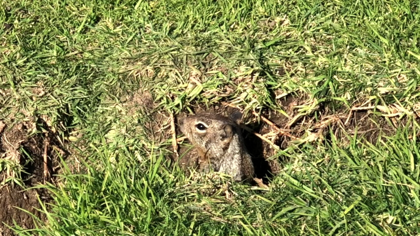 4K HD Video of one ground squirrel popping out of burrow in green grass. California ground squirrels are often regarded as a pest in gardens and parks, since they will eat ornamental plants.  | Shutterstock HD Video #1045197595