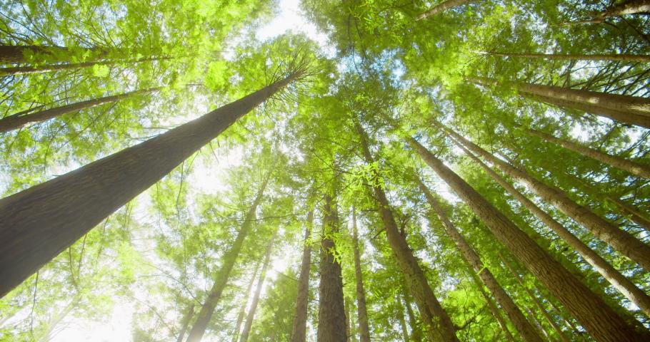 Californian redwood forest, Otway National Park, Australia