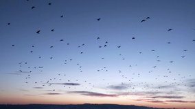 Stockfootage of a large flock of flying Birds against a sunset sky. Swarm of Starlings flying in formation - Download Video in 4K