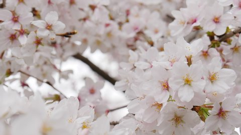 Someiyoshino sakura flowers in full bloom close up shot.