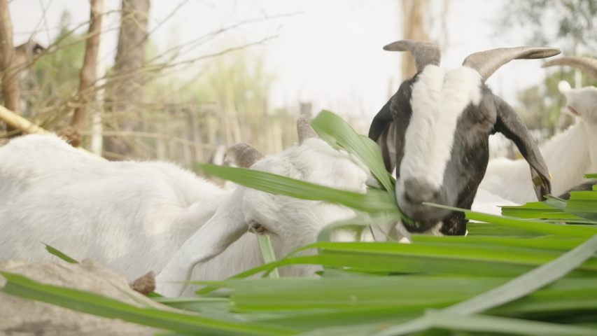 Goat farm,farm goats with weed food, Healthy goats are happy to eat outdoor food on the farm. | Shutterstock HD Video #1045370068