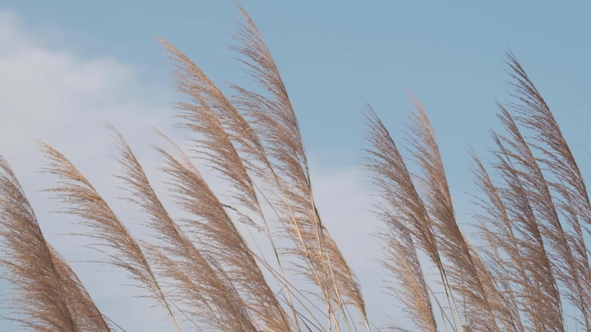 Silvergrass blowing in the wind against blue sky. Slow motion. Royalty-Free Stock Footage #1045387132