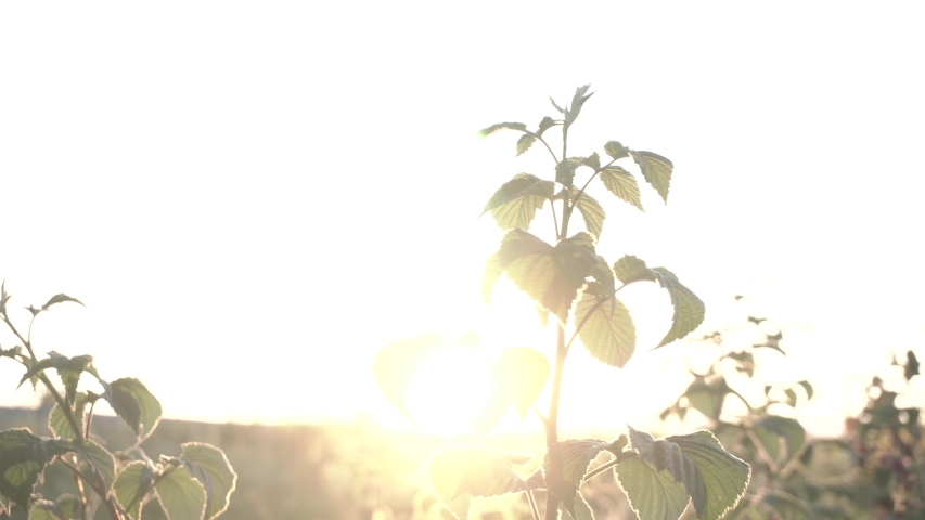 Sun flare through raspberry bushes | Shutterstock HD Video #1045454758
