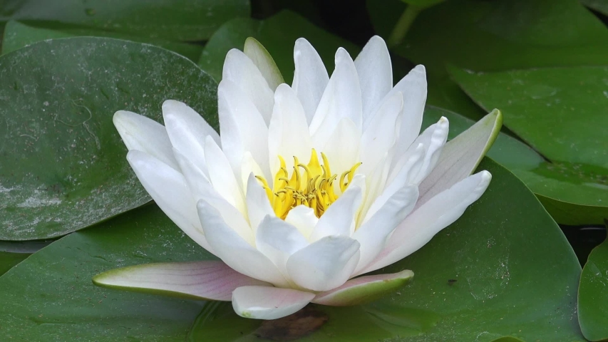 Time lapse footage of white water lily flower opens and closes . Accelerated fast HD video Nymphaea blooming in the pond is surrounded by leaves | Shutterstock HD Video #1045456021