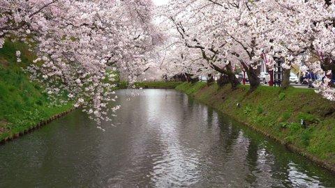 Hirosaki park cherry blossoms matsuri festival in springtime season beautiful morning day. Beauty full bloom pink sakura flowers at outer moat. Aomori Prefecture, Tohoku Region, Japan