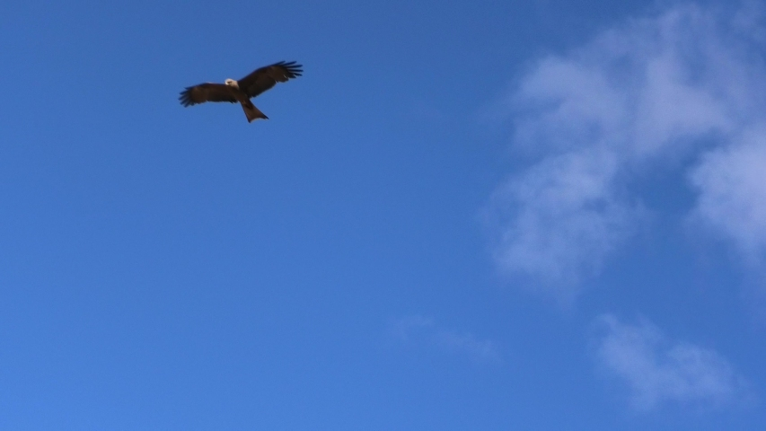 A Wedge-tailed Eagle, Aquila audax, , with brown feathers flies against the blue sky. Desert Park at Alice Springs, Northern Territory, Central Australia. Seen from below.
