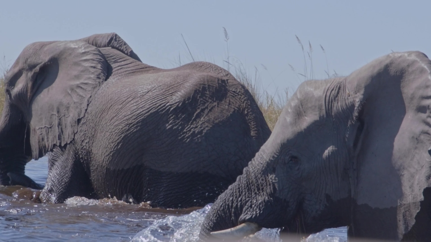 Slow motion of elephants crossing river in Africa | Shutterstock HD Video #1045597339