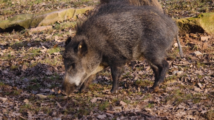 Close up of two wild boar pig behind each other on a sunny day in autumn.