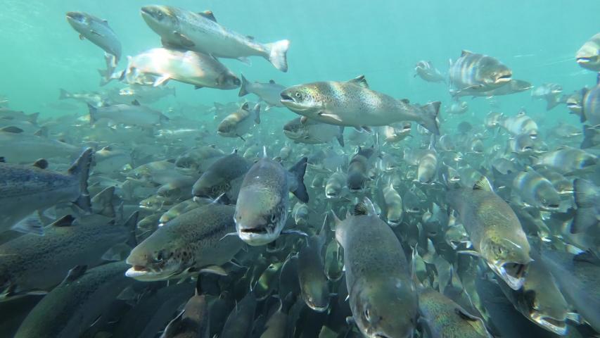 Salmon fish swimming inside fish farm | Shutterstock HD Video #1045680922