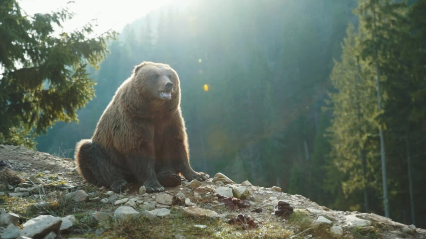 Cute carpathian grizzley sitting on cliff top in the woods. Funny animal brown bear with tongue out roariong waiting food at sunset. Amazing landscape background. Wildlife.   Shutterstock HD Video #1045696312