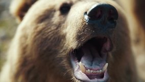 Close up brown bear's muzzle in forest wild danger european grass fur summer dangerous nature woods wilderness summertime outdoors powerful life fauna evening slow motion