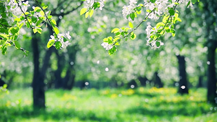 Blossoms fall from trees against beautiful blur orchard blooming background. Slow motion. Bright floral scene with natural lighting.  | Shutterstock HD Video #1045740631