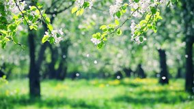 Blossoms fall from trees against beautiful blur orchard blooming background. Slow motion. Bright floral scene with natural lighting.