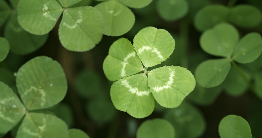 Lucky four leaf clover in a field of clovers. Shamrock shape lucky charm or St. Patrick's Day. | Shutterstock HD Video #1045794319