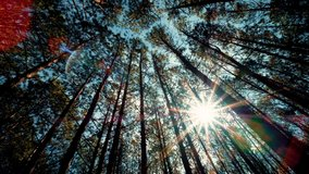 View up, bottom view of pine trees inforestin sunshine. Royalty high-quality free 4k stock video footage of big and tall pine tree with sun light, dew, fog in the forest when looking up blue sky