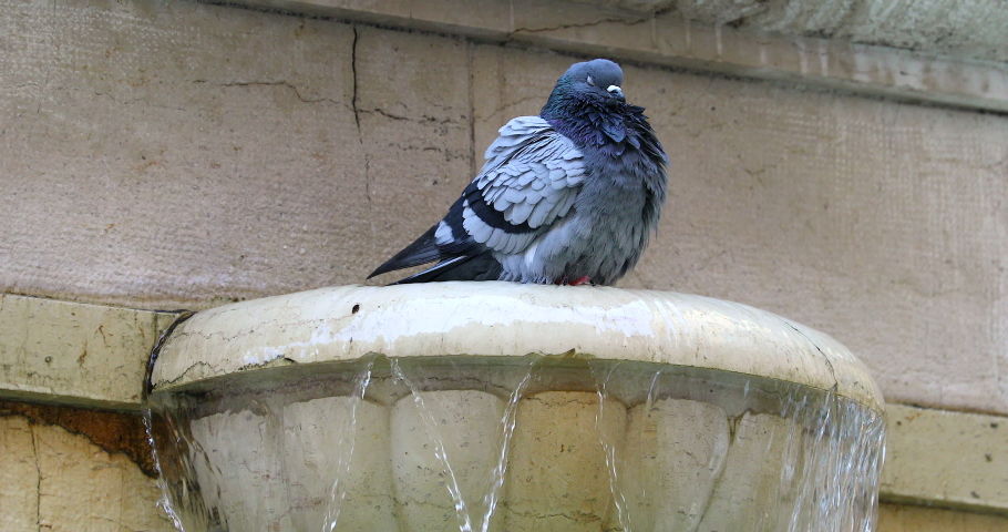 Pigeon Perched On A Fountain. Close Up View   Shutterstock HD Video #1045912219
