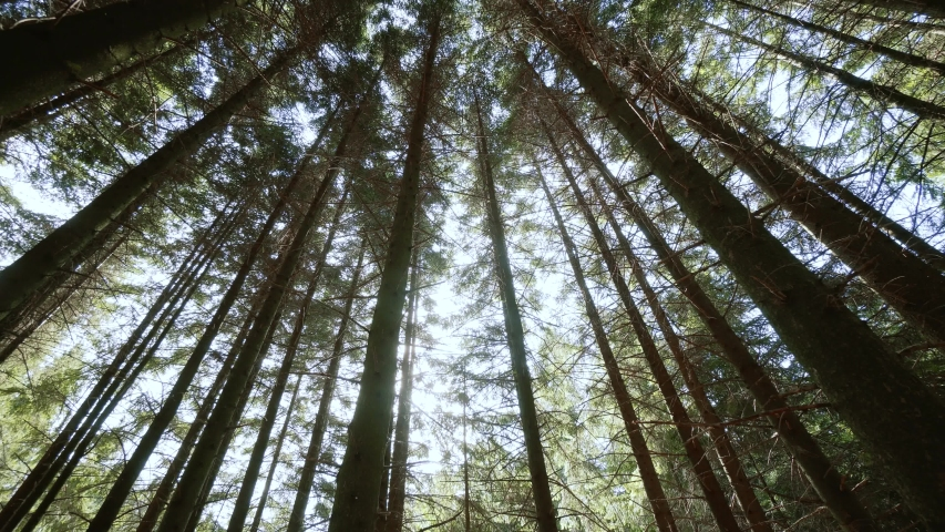 Move camera Bottom view of sun through tall trunk pine trees in green forest in nature. Royalty-Free Stock Footage #1045926826