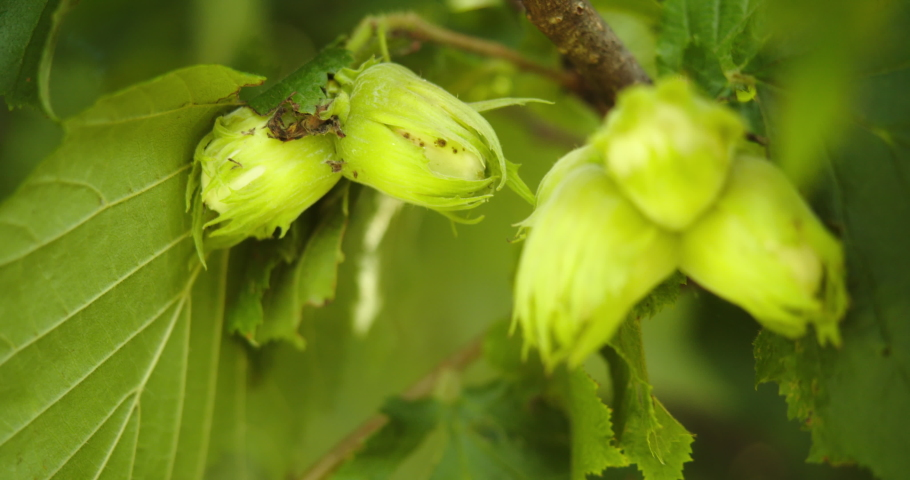Macro shot, close-up of green hazelnuts ripening on a branch.