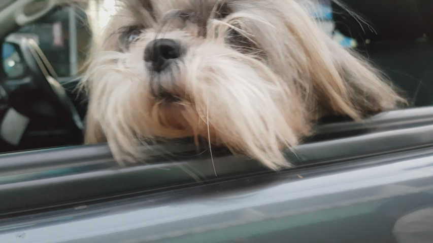 A small white dog sits in a car with his head out the window awaiting his owners return. | Shutterstock HD Video #1046023852