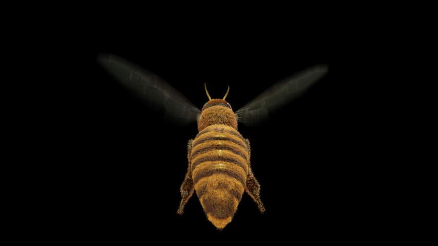 Flying honey bee endless loop animation with clean alpha 4k footage shot from behind , you can use it for a close-up shot. It also comes with alpha channel so you can add background