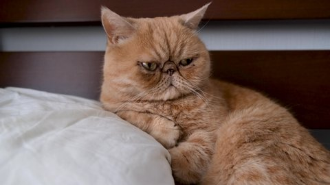 Exotic Shorthair Stock Video Footage - 4K and HD Video Clips | Shutterstock