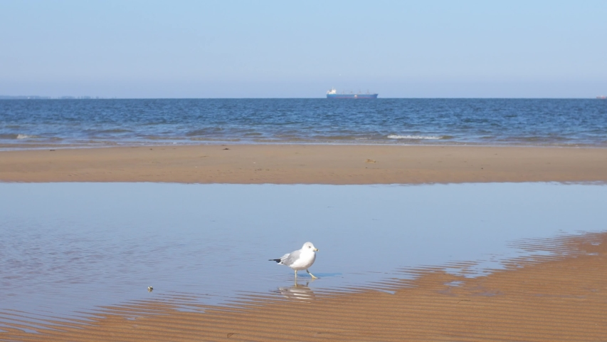 Seagulls walk, fly, and scavenge on the beach in Norfolk Virginia