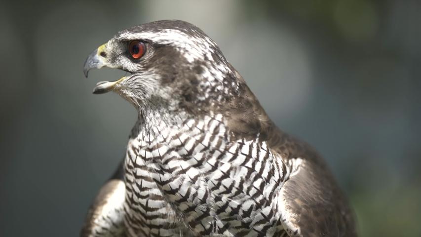 Hawk close up outdoor stock footage.