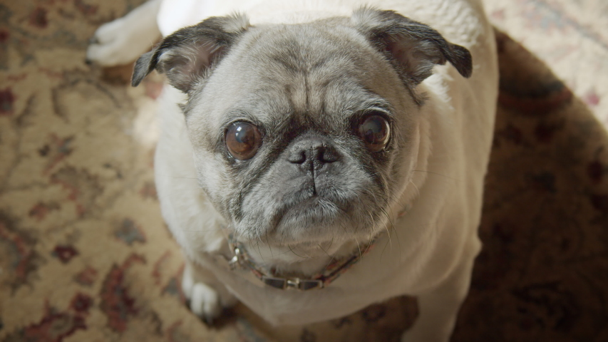 Close up of adorable pug dog with big eyes stares looking into camera, watching and waiting, obedient and patient, listening. | Shutterstock HD Video #1046337688