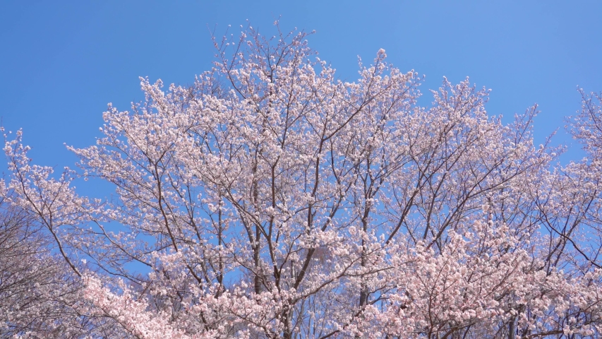 Cherry Blossoms Japan Sakura spring | Shutterstock HD Video #1046378509