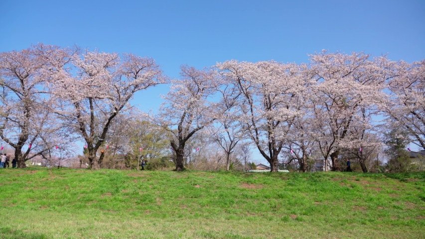 Cherry Blossoms Japan Sakura spring | Shutterstock HD Video #1046378515
