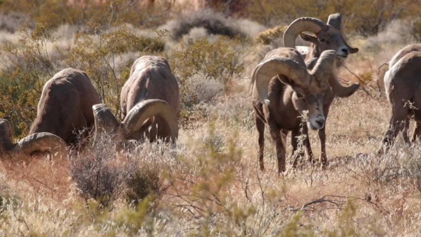 A group of desert big horned rams grazes together on winter browned grass before moving off to the right. Royalty-Free Stock Footage #1046465740