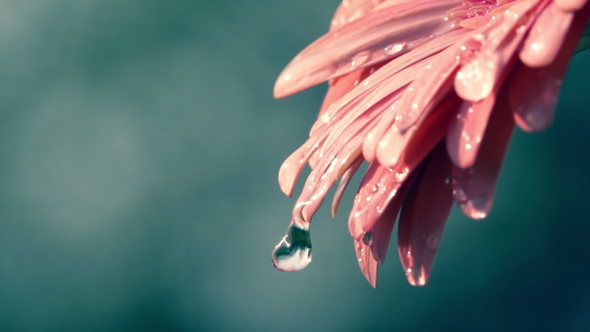 Big water drops falling from beautiful coral colorful gerbera daisy petals against blur sea-green background. Slow motion shot of soft and gentle flower on dark backdrop. Natural lighting. | Shutterstock HD Video #1046470729