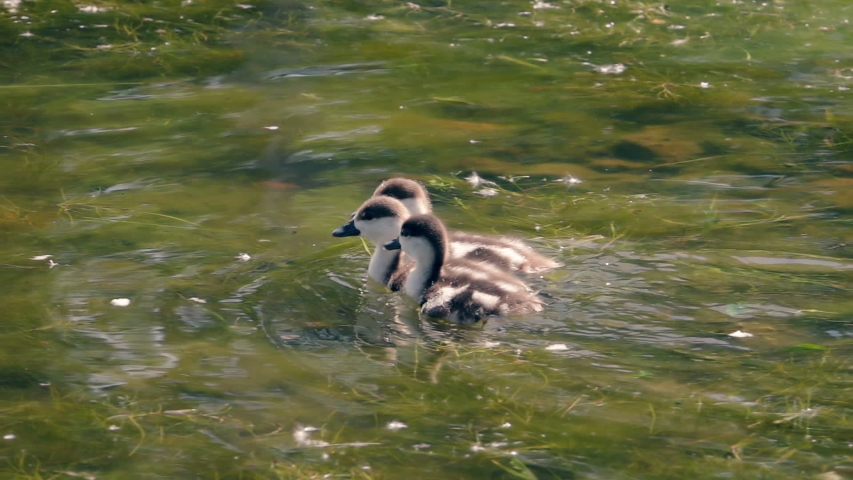 Three young ducklings swimming in slow motion. Beautiful nature scene with sun flecks on water surface. Natural lighting. | Shutterstock HD Video #1046470741