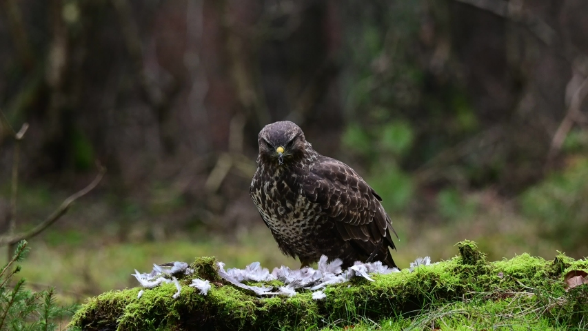 Common buzzard sitting on the forest meadow and pluck a woodpigeon, winter, (buteo buteo), germany | Shutterstock HD Video #1046534266
