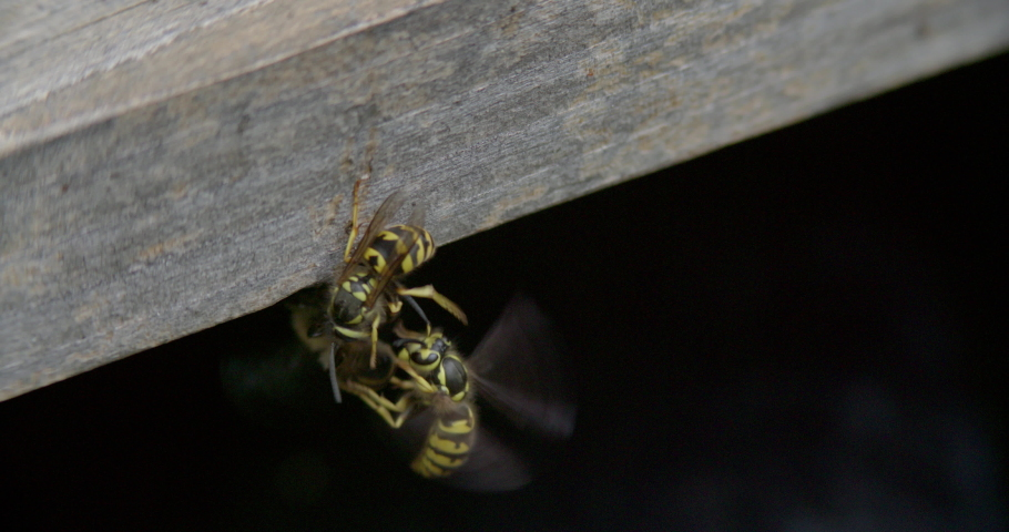Close-up macro shot of 2 yellow jackets attacking a honey bee. The scuffle ends with all three dropping out of frame in a fighting ball. Shot at 60fps | Shutterstock HD Video #1046565169