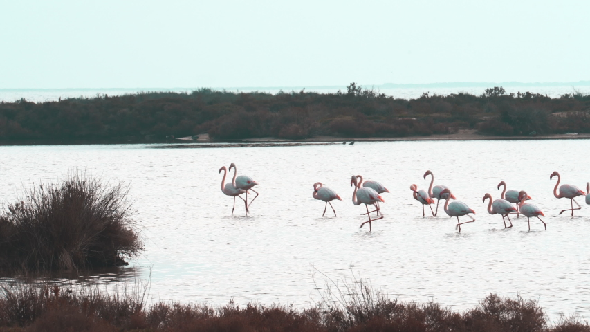 Group of flamingos walking in the same direction at Ebro Delta Natural Park. African birds. The greater flamingo or Phoenicopterus roseus is the most widespread and largest species of the flamingo