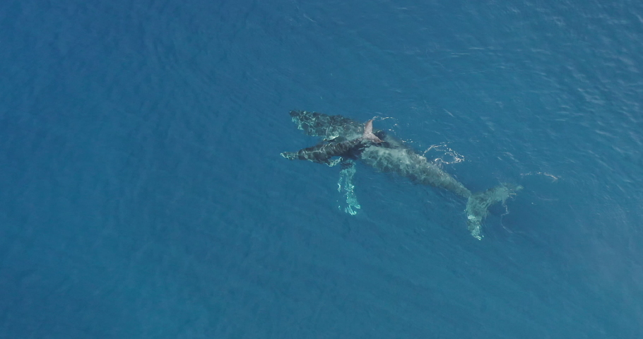 Aerial view of a baby humpback whale and its mom swimming together in clear blue ocean water, two whales swimming together