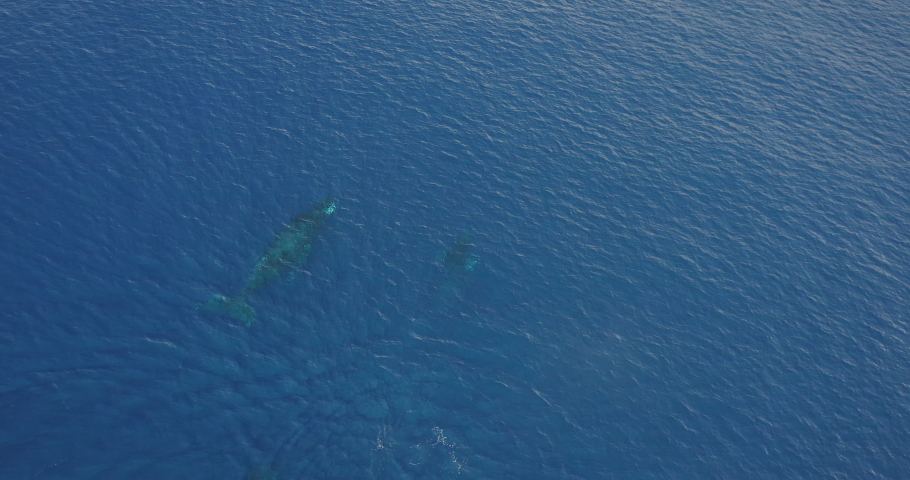 Aerial view of a baby humpback whale breaching, humpback whales swimming in clear blue ocean water, blue planet
