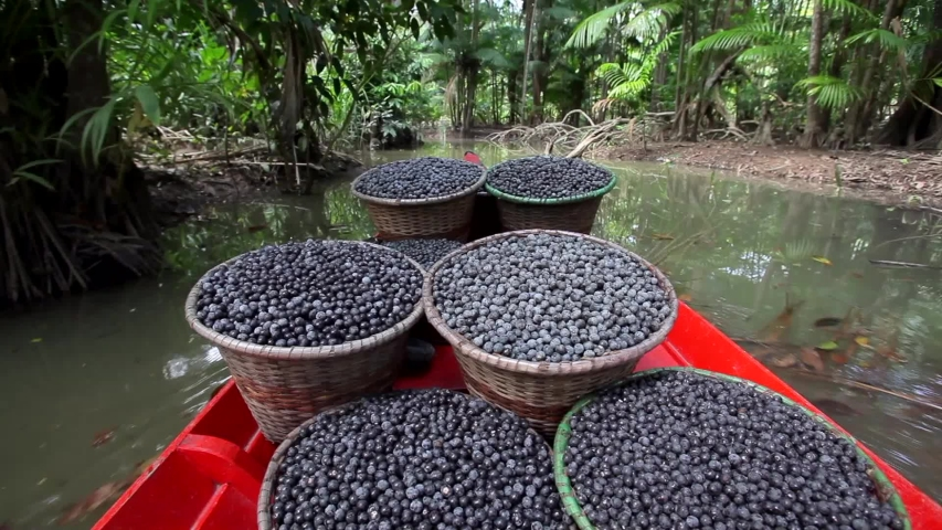 Fresh acai berries in straw baskets inside a red boat sailing down the river in the middle of the Amazon rainforest. Concept of nature, environment, conservation, climate change and sustainability.