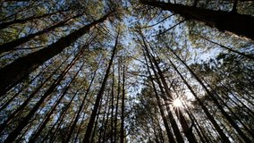View up, bottom view of pine trees inforestin sunshine. Royalty high-quality free 4k stock video footage of big and tall pine tree with sun light, dew, fog in the forest when looking up blue sky.