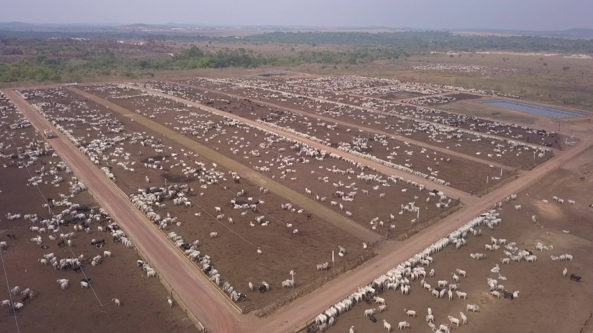 Aerial drone view of many oxen grazing on sunny summer day on feedlot cattle farm in Amazon, Para, Brazil. Concept of agriculture, environment, ecology, economy, exportation and meat production. Royalty-Free Stock Footage #1046929504