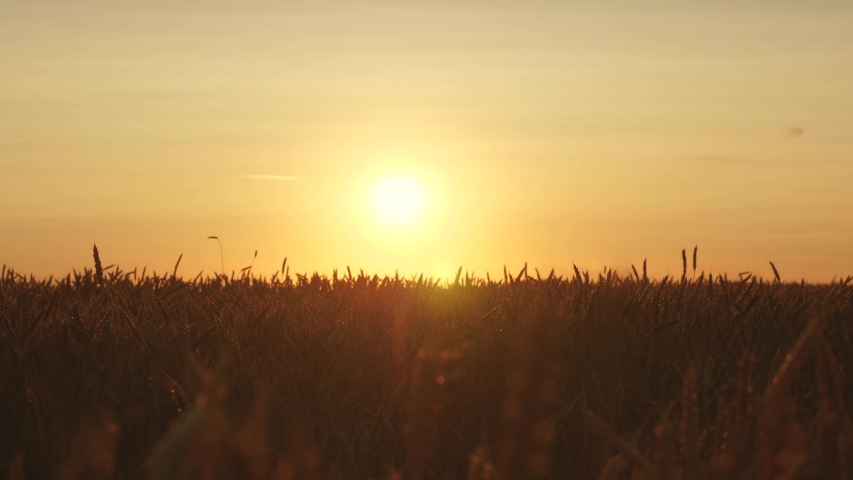 Ripe wheat ears in field. Beautiful sunset with the countryside over a field of wheat. sun illuminates wheat crops. huge yellow wheat field in idyllic nature in golden rays of sunset.