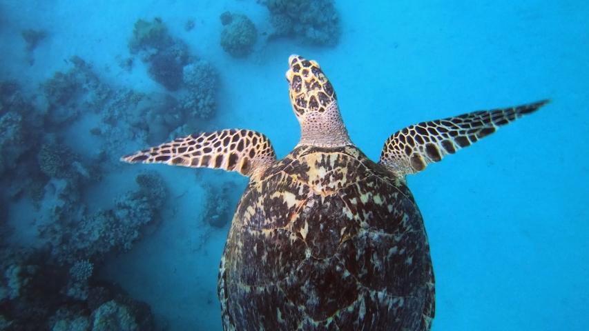 Tropical Sea Turtle. Hawksbill sea turtle (Eretmochelys imbricata). Turtle swimming in blue sea. Sea turtle breathing at Surface. Reef coral garden.