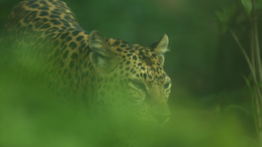 Close-up of leopard portrait in Thailand, wild life concept   Shutterstock HD Video #1046999920