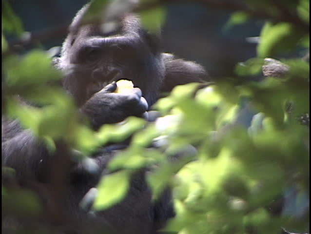 gorilla eating through trees #1047
