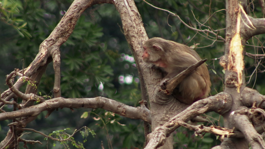 4K Video : Rhesus macaques sitting on a tree and eating tree bark outdoors in the nature, India. Rhesus macaques are also known as monkey thieves or rebel monkeys.    | Shutterstock HD Video #1047003259
