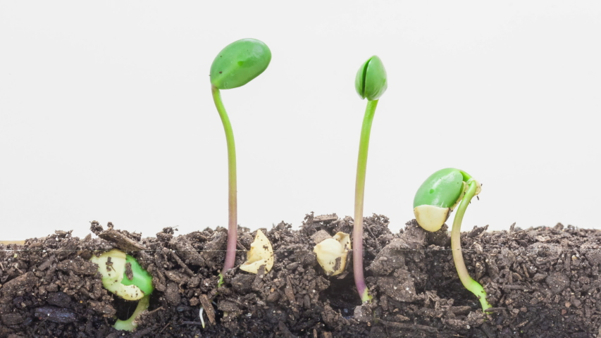 Soybeans sprouting timelapse. Macro time lapse video of soy beans sprouting from soil with camera following their growth.  Royalty-Free Stock Footage #1047079627